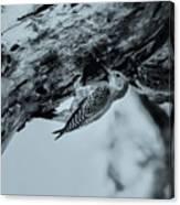 Woodpecker - El Salvador Canvas Print