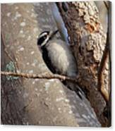 Woodpecker Feb 2011 Canvas Print