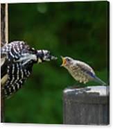 Woodpecker Feeding Bluebird Canvas Print