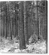 Woods In Winter, Slaley Canvas Print