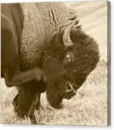 Woolly Itch ... Montana Art Photo Canvas Print