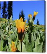 Woolly Mule's-ear At Lassen Park Canvas Print