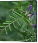 Woolly Vetch In Spring Canvas Print