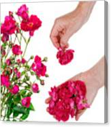 Worker Pick  Flowers Of Pink  Roses Canvas Print