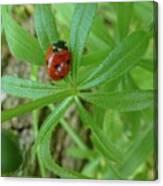 World Of Ladybug 3 Canvas Print