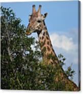 World's Tallest Mammal Canvas Print