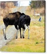 Amorous Moose Wrestling Canvas Print