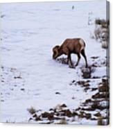 Wyoming Big Horn Canvas Print