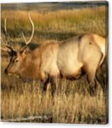 Wyoming Elk Canvas Print