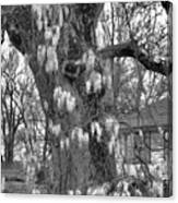 Wysteria Tree In Black And White Canvas Print