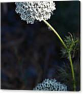 Yarrow In Stages Canvas Print