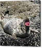 Yawning Harbor Seal - Oregon Coast Canvas Print