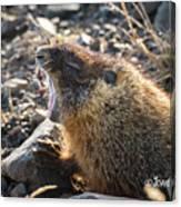 Yawning Marmot Canvas Print