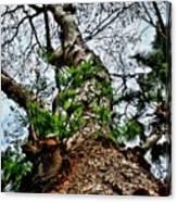 Ye Ole Tree At Chichen Itza Canvas Print