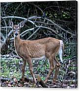 Yearling Fawn Canvas Print