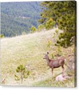 Yearling Mule Deer In The Pike National Forest Canvas Print