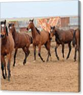 Yearlings In Single File Canvas Print