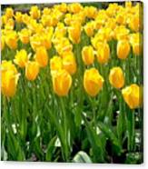 Yelllow Tulip Garden Canvas Print