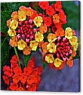 Yellow And Orange Lantana At Pilgrim Place In Claremont-california Canvas Print