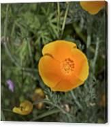 Yellow And Orange Poppy Canvas Print