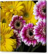 Yellow And Pink Gerbera Daisies Canvas Print