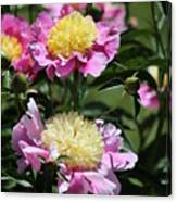 Yellow And Pink Peony Canvas Print