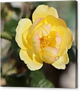 Yellow And Pink Tipped Rose Canvas Print