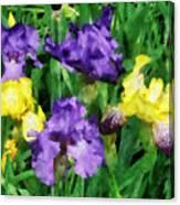 Yellow And Purple Irises Canvas Print