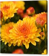 Yellow And Red Autumn Mums Closeup I Canvas Print