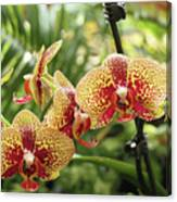 Yellow And Red Spotted Phalaenopsis Orchids Canvas Print