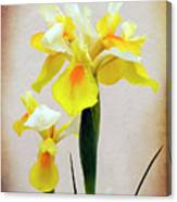 Yellow And White Iris Textured Canvas Print