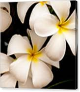 Yellow And White Plumeria Canvas Print