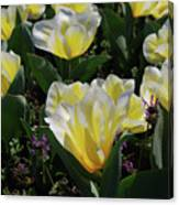 Yellow And White Tulips Flowering In A Garden Canvas Print