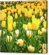 Yellow And White Tulips In Canberra In Spring Canvas Print
