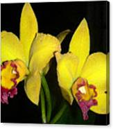 Yellow And Wine Orchids Canvas Print