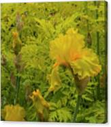 Yellow Bearded Iris Canvas Print