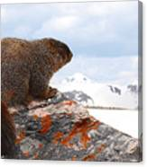 Yellow-bellied Marmot Enjoying The Mountain View Canvas Print