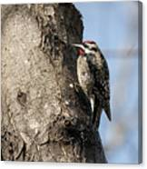 Yellow-bellied Sapsucker Canvas Print