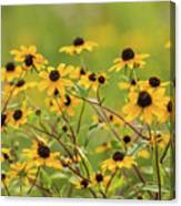 Yellow Black Eyed Susan Wildflowers In Summer Canvas Print