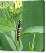 Yellow Black  White Caterpillar Canvas Print