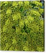 Yellow Blossoms Of Green Aeonium In Huntington Desert Garden In San Marino-california  Canvas Print
