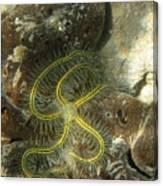 Yellow Brittle Star Under The Dock Canvas Print