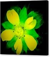 Yellow Buttercup On Black Background Canvas Print