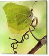 Yellow Butterfly On The Branch Canvas Print