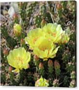 Yellow Cactus Blooms Canvas Print