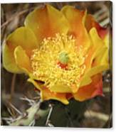 Yellow Cactus Flower On Display Canvas Print