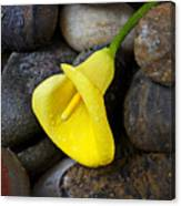 Yellow Calla Lily On Rocks Canvas Print