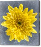 Yellow Chrysanthemum Flower Canvas Print