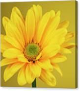 Yellow Chrysanthemum On Yellow Canvas Print