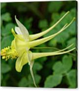Yellow Columbine Profile Canvas Print